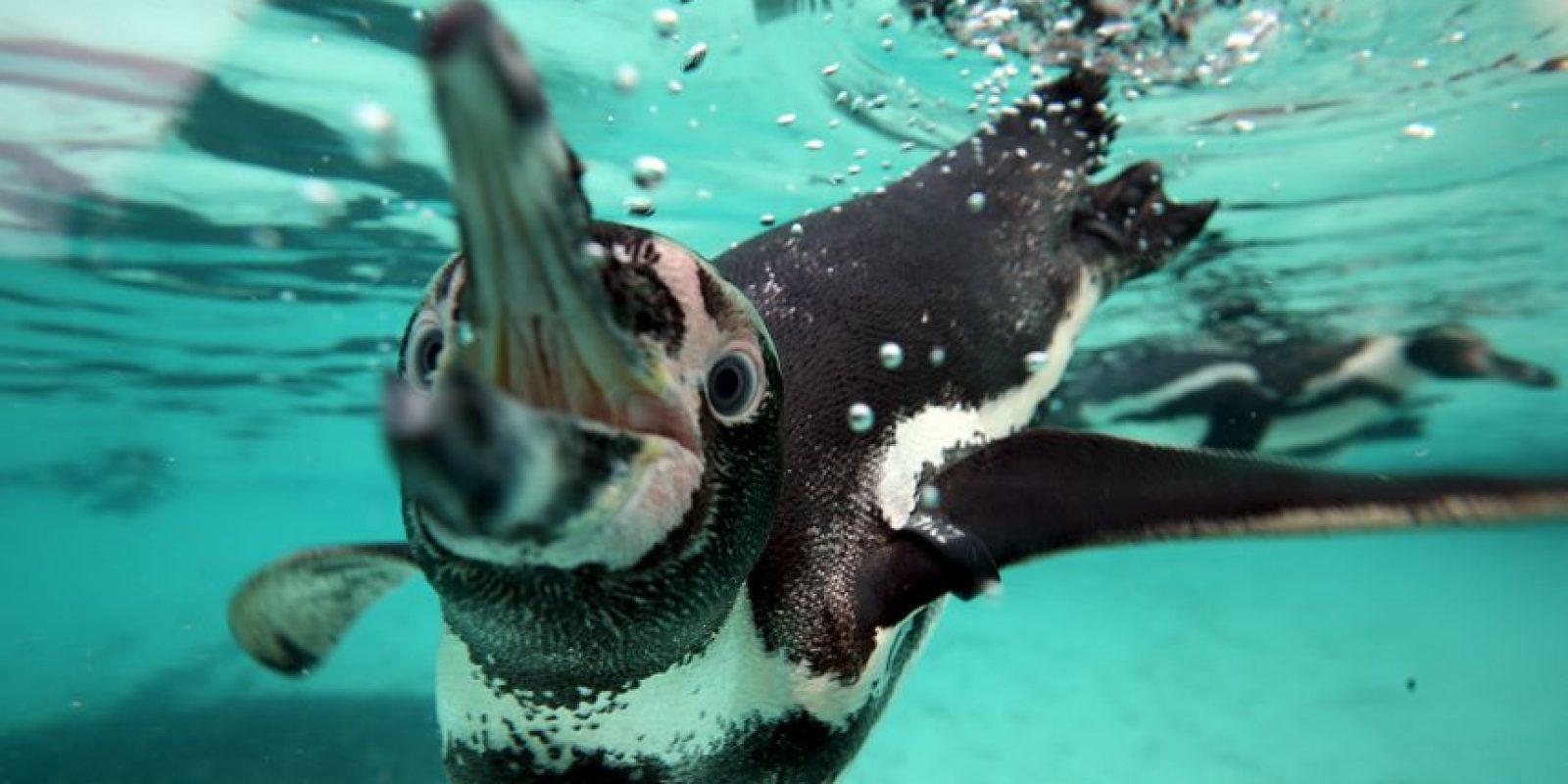 El 25 de abril se celebra el Día Mundial del Pingüino Foto:Getty Images