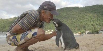 Pingüino nada miles de kms para agradecer a hombre que lo salvó