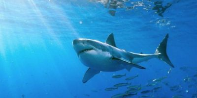 """El animal fue clasificado como """"el mayor tiburón blanco jamás grabado"""". Foto:Vía Facebook.com/amaukua"""
