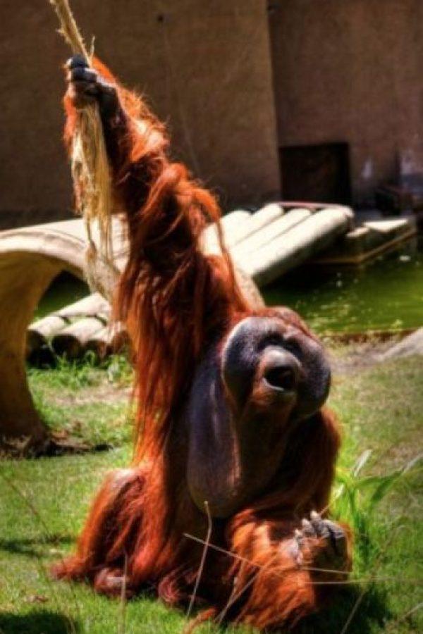 Orangután Foto:Wikimedia