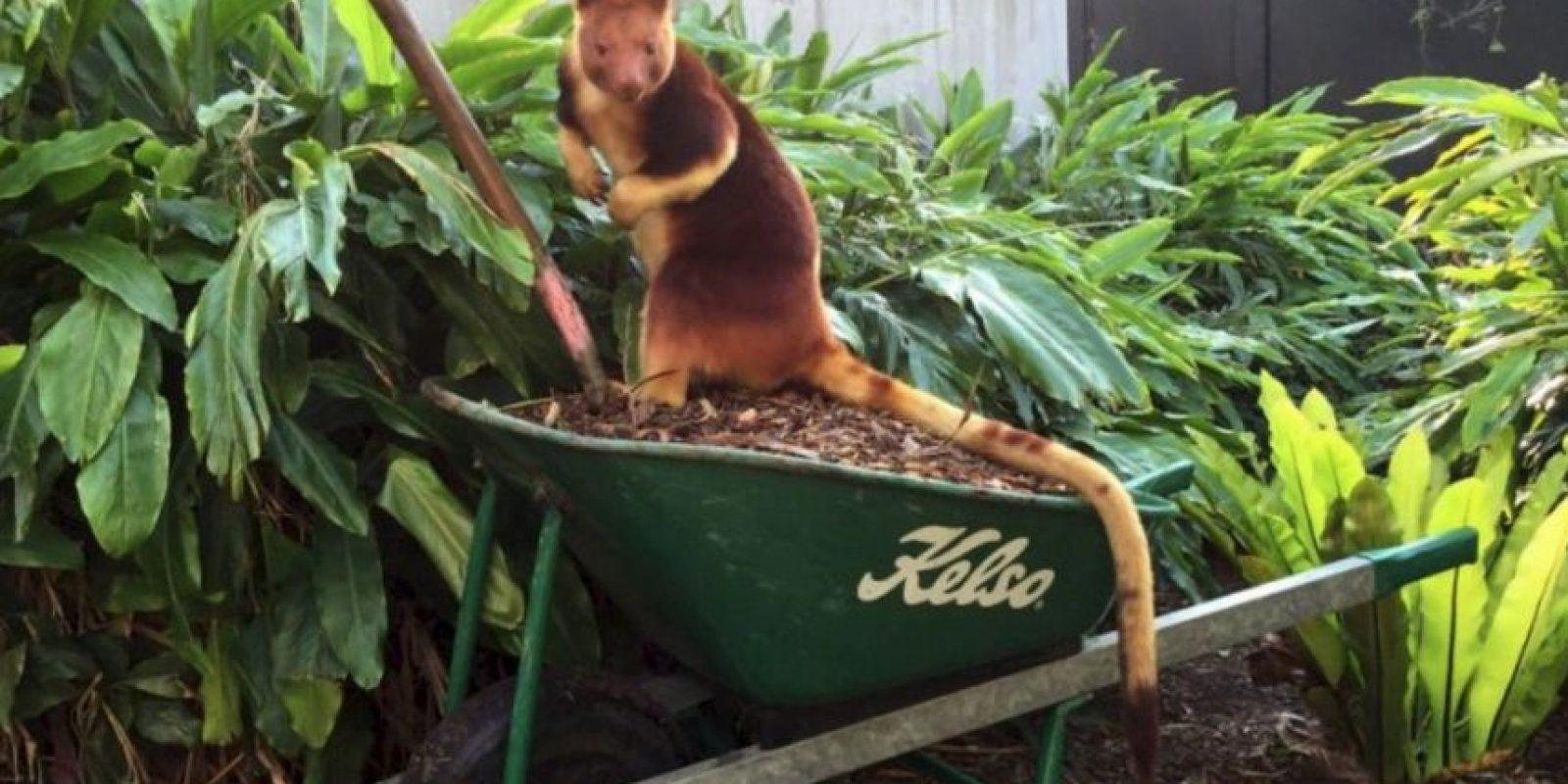 Se llama Sam y también vive en el Zoológico Taronga. Foto:Vía Facebook.com/tarongazoo