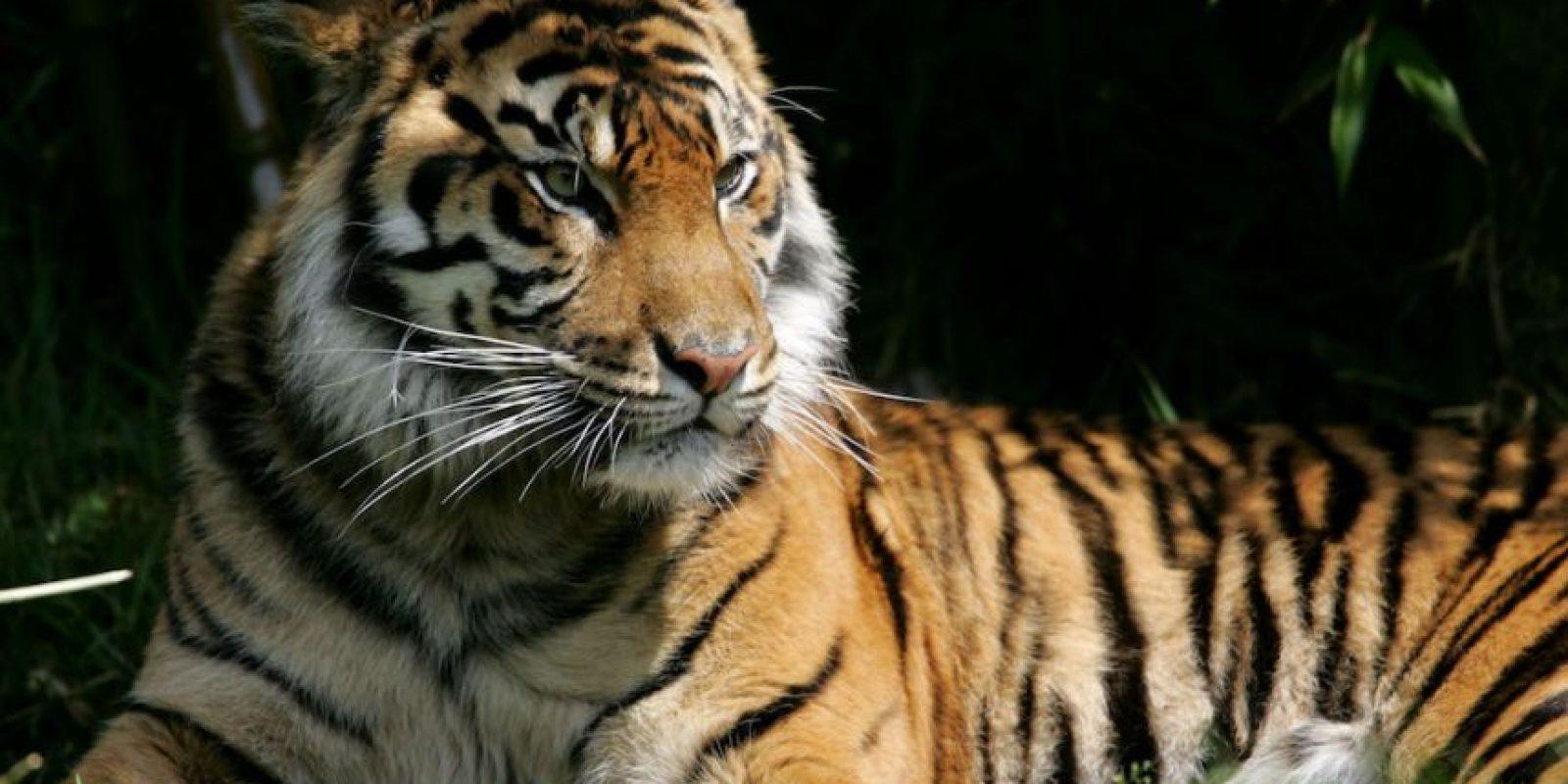 4. En el siglo XX se extinguieron tres subespecies de tigres Foto:Getty Images