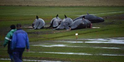 Autopsia reveló que las ballenas encalladas tenían plástico en sus estómagos Foto:Getty Images