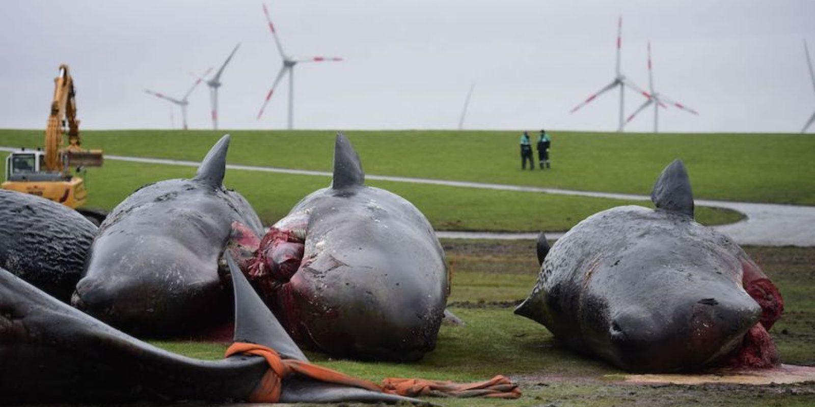 Murieron en la costa de Schleswig-Holstein, en febrero pasado Foto:Getty Images