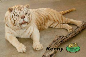 Los tigres blancos son hijos de tigres que son portadores de un gen inusual, necesario para la coloración blanca. Foto:Turpetine Creek Wildlife Refuge