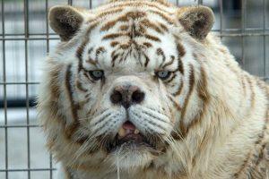 Son de color blanco debido a una condición genética que suprime el pigmento color naranja de su pelaje normal Foto:Turpetine Creek Wildlife Refuge