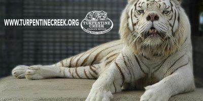 Mide aproximadamente 3 metros de largo y pesa aproximadamente de 180 a 285 kg (400 a 569 LB) Foto:Turpetine Creek Wildlife Refuge