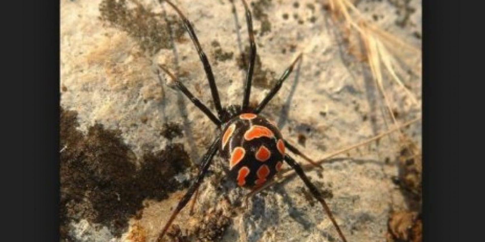 Viuda negra: la picadura de esta araña puede causar la muerte, pero un porcentaje de las mordeduras no es fatal debido al suministro de antivenenos Foto:pixabay.com