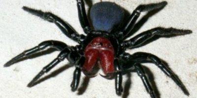 Araña del ratón: este afecta el sistema nervioso y puede tener efectos rápidos Foto:animalesmascotas.com