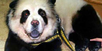 Chow Chow disfrazado de panda Foto:Vía Tumblr