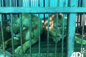 La mayoría tenían sus dientes y garras destrozados, para evitar que se defendieran. Foto:AnimalDefenders