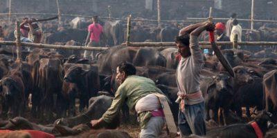 Esta celebración hindú se realiza cada cinco años en Bara, al sur de Nepal, donde devotos matan animales -en su mayoría búfalos, ovejas, gallinas y cabras- como sacrificio a la diosa hindú de la energía. Gadhimai. Foto:vía AFP