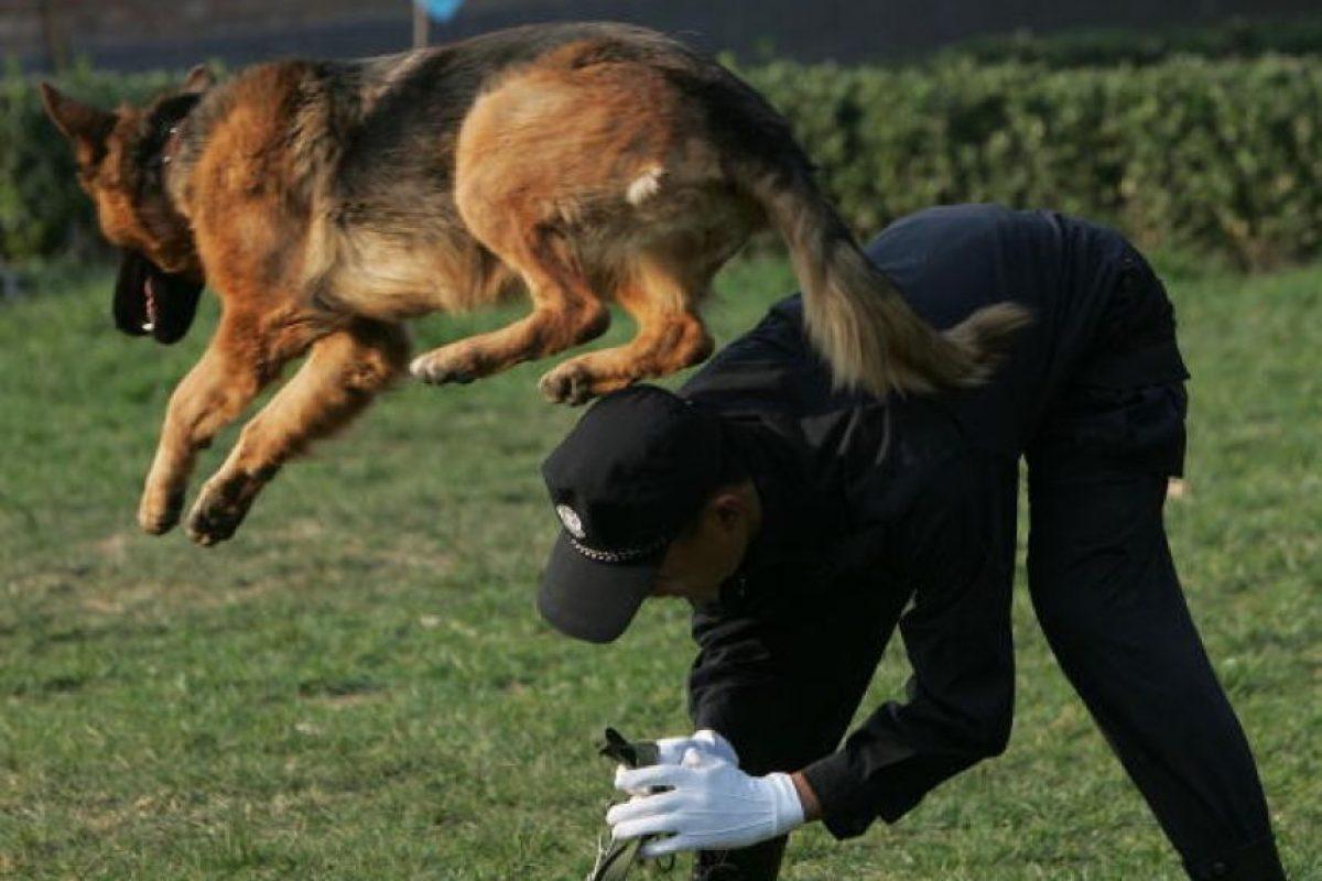 Perros de policía científica (búsqueda de cadáveres) Foto:Getty Images