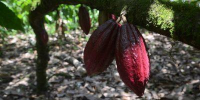 """Dominicano """"empeñado"""" en usar desechos del cacao"""