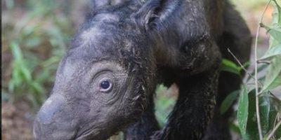 Animales: Nace bebé rinoceronte en peligro de extinción