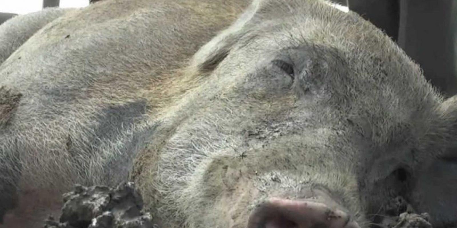 Del cerdo se dice que es el único animal que nunca muere de viejo, debido a que su destino es en muchos casos la matanza. Foto:Wikicommons