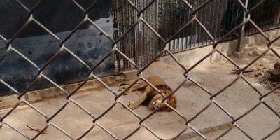 Así quedó uno de los leones después de salvar al hombre. Foto:Twitter/@SkaPanxo