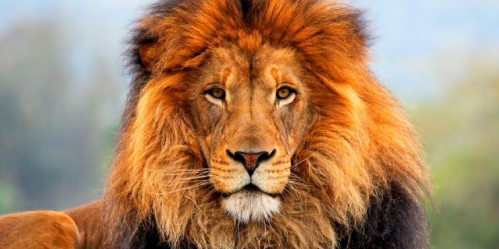 Los leones fueron utilizados en deportes sangrientos de combate contra otros animales como perros. Fue finalmente prohibido en Viena en 1800 y en Inglaterra en 1825. Foto:Getty Images