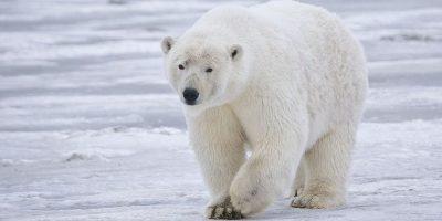 Osos polares. Los efectos de las reducciones en la extensión del hielo marino y su grosor, períodos más cortos de máxima extensión del hielo, así como los cambios en la dinámica del hielo marino y la estructura tienen el potencial de influir negativamente en la condición y el éxito reproductivo de los osos polares y sus presas. Foto:Fuente externa