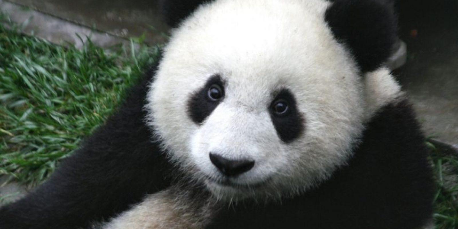 Panda. Su hábitat forestal en las zonas montañosas del suroeste de China está fragmentado, y las poblaciones de panda gigante son pequeñas y aisladas unas de otras. El bambú, alimento básico de los pandas, también es parte de un delicado ecosistema que podría verse afectado por los cambios causados por el calentamiento global. Foto:Fuente externa