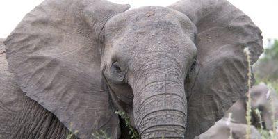 Los elefantes africanos. Los elefantes se enfrentan a una serie de amenazas, incluyendo la reducción de espacio de vida, lo que les pone con una mayor frecuencia en conflicto con la gente. Con su espacio de vida disminuido, los elefantes serán incapaces de escapar de cualquier cambio en su hábitat natural causado por el calentamiento global, incluidos los períodos más secos y más frecuentes. Foto:Fuente externa