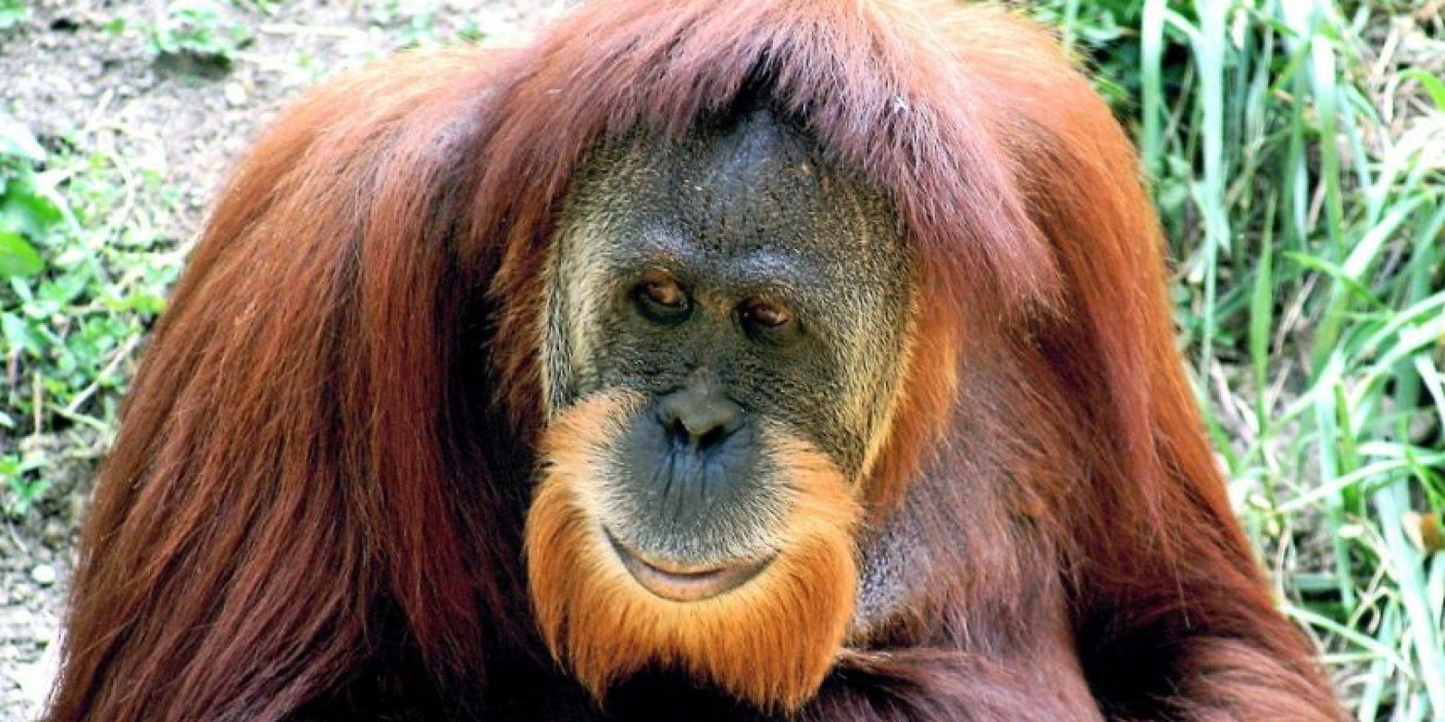 Orangután. El único gran simio de Asia está en serios problemas. Sus últimos reductos que quedan en las selvas tropicales de Indonesia están siendo amenazados por una serie de presiones, incluyendo el cambio climático, poniendo al animal en peligro de extinción en unas pocas décadas Foto:Fuente externa