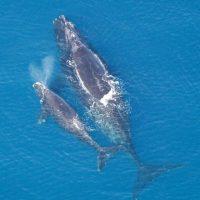 Ballena franca del Atlántico Norte. Dado al calentamiento de las aguas, éstas contienen menos plancton para que las ballenas puedan alimentarse, la disponibilidad de alimentos debido a las fluctuaciones del clima también se está convirtiendo en una causa cada vez mayor de mortalidad. Foto:Fuente externa