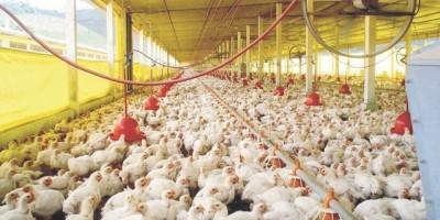 Exportarán genética avícola dominicana por primera vez