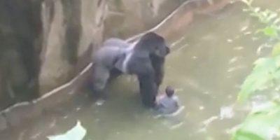 Director de zoo EE.UU. justificó muerte de gorila