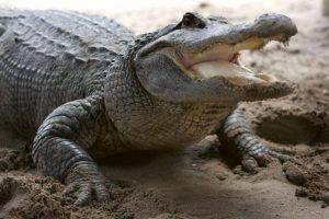 Es un animal ovíparo, cada hembra puede tener entre 20 y 60 huevos. Foto:Getty Images