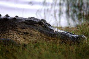 En su mayoría se localizan en regiones subtropicales y tropicales de América. Foto:Getty Images