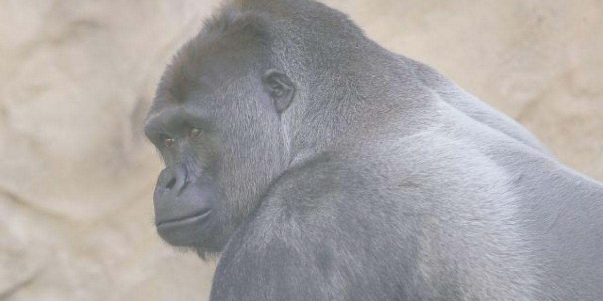 Sigue el debate en EE.UU. por gorila abatido para salvar a niño