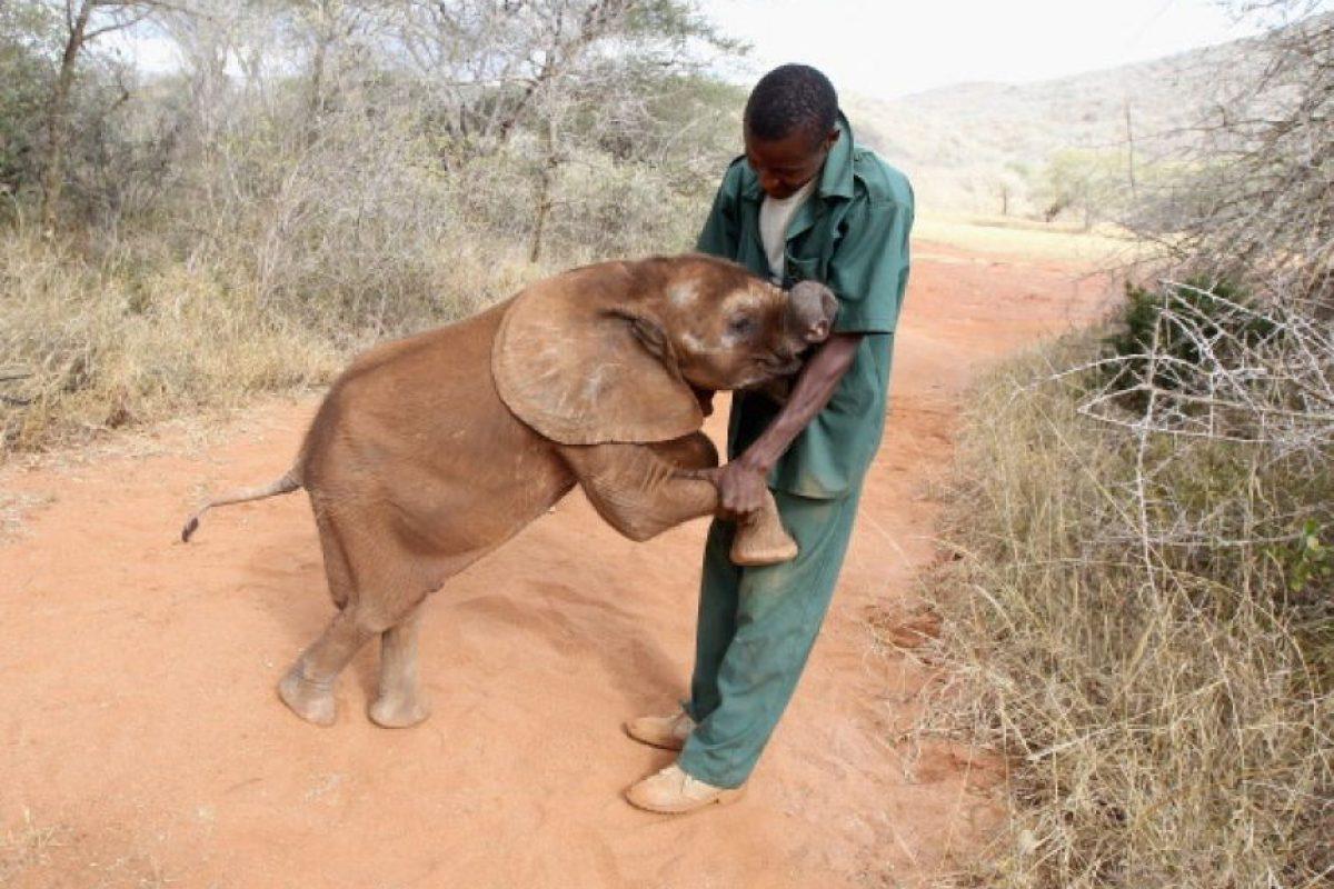 El gran animal se caracteriza por su gran cabeza, amplias orejas, trompa larga y musculosa, además de sus dos colmillos en la mandíbula superior. Foto:Getty Images