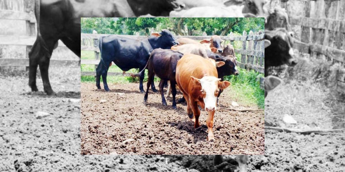 Preocupación por robos de ganado en comunidades de la frontera con Haití