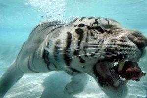 Actualmente la mayoría de los tigres blancos viven en cautiverio. Foto:Getty Images
