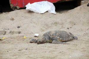 Una tortuga fue sacada del mar por turistas, todo por tomarse fotos con ella. Foto:Getty Images