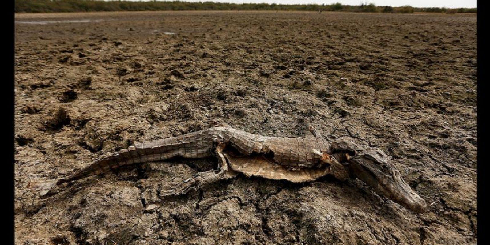 Caimanes yacarés, peces y carpinchos son los animales más afectados por una fuerte sequía que afecta la región. Foto:AP