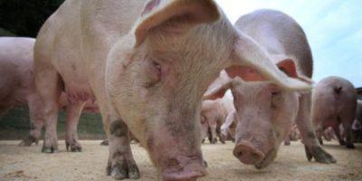 Ganadería desmiente hayan muerto miles de cerdos en Hato Mayor