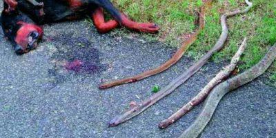 Perro luchó contra 4 cobras para defender a su familia