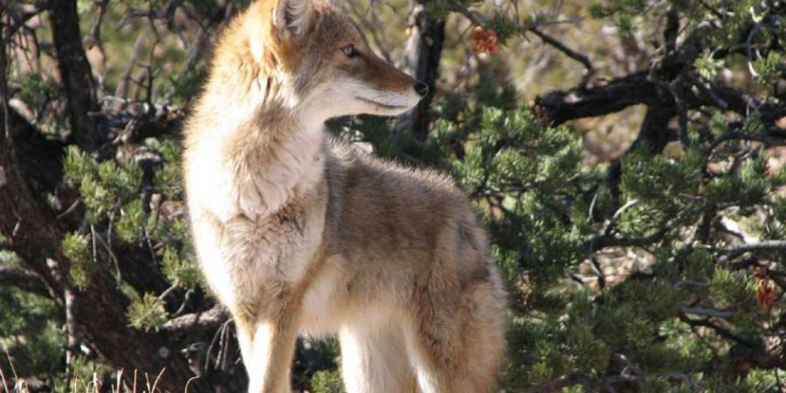 """Los coyotes pertenecen a la familia """"Canidae"""", misma a la que pertenecen los perros. Foto:Pixabay"""