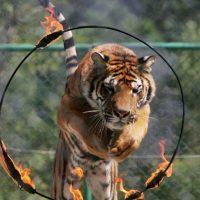 Varios tigres mataron a una mujer e hirieron a otra en China. Foto:Getty Images