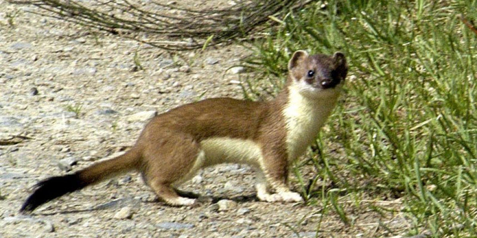 Armiños Foto:Wikimedia