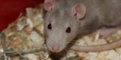 Ratas: los primeros registros datan del siglo X Foto:Pixabay.com