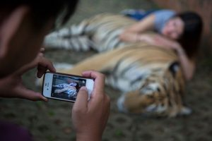 Un estudio realizado en Tailandia demostró el maltrato animal que padecen Foto:Getty Images