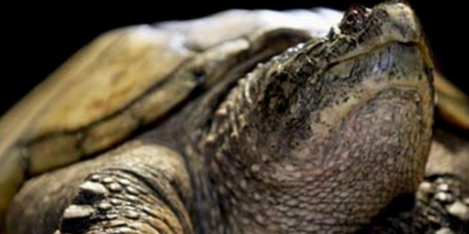 El escritor griego Esquilo fue aplastado por una tortuga que cayó del cielo. Le profetizaron que moriría al caerle una casa encima. Foto:Wikipedia