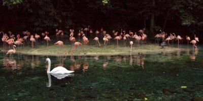 Los flamencos habitan cerca de un lago natural, uno de los principales atractivos del Zoológico dominicano Foto:Mario de Peña