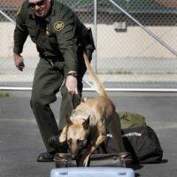 El trabajo de un perro policía no tiene que ver solo con su nariz. Foto:Getty Images