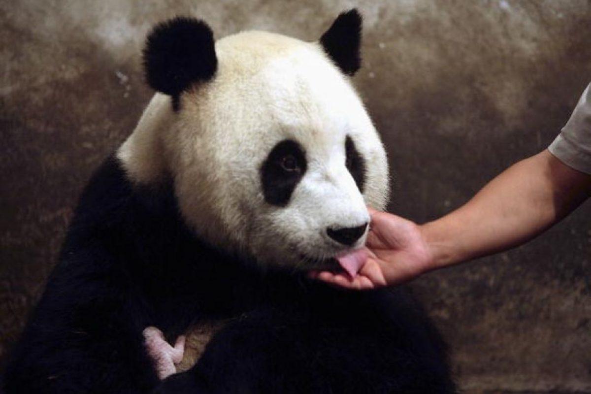 Los pandas gigantes miden unos 150 centímetros de largo. Foto:Getty Images
