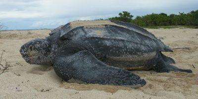 Medio Ambiente ejecuta proyecto reproducción tortugas tinglar en provincia La Altagracia