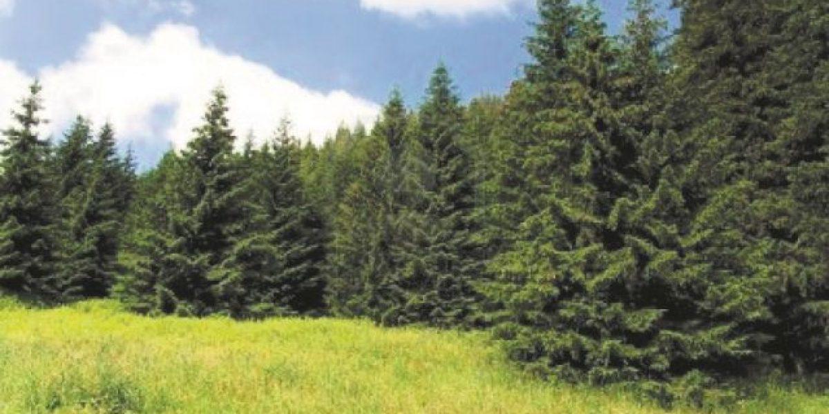 Instruyen para eliminar parásitos en los pinos en RD